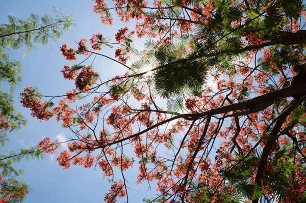 凤凰花开醉美五月 中海神州半岛首届赏花节_海南房_房